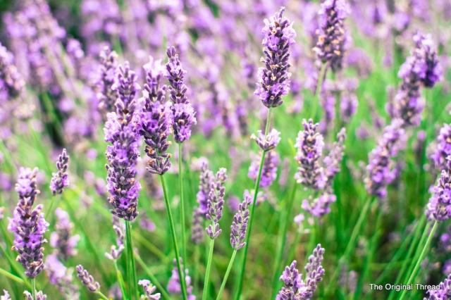 Lavender1 (1 of 1)
