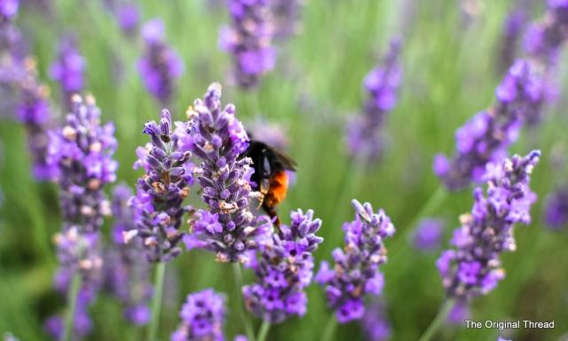 lavender10 (1 of 1)