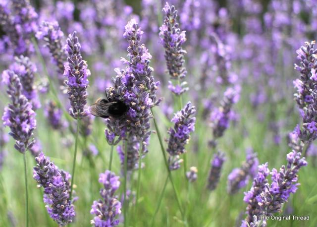 lavender11 (1 of 1)