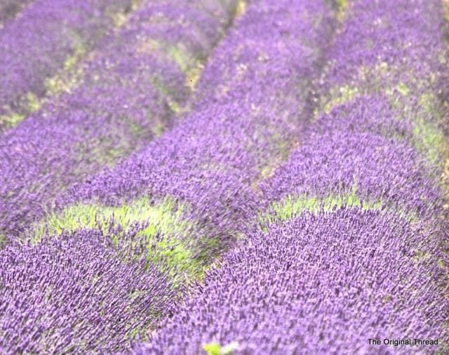 lavender13 (1 of 1)