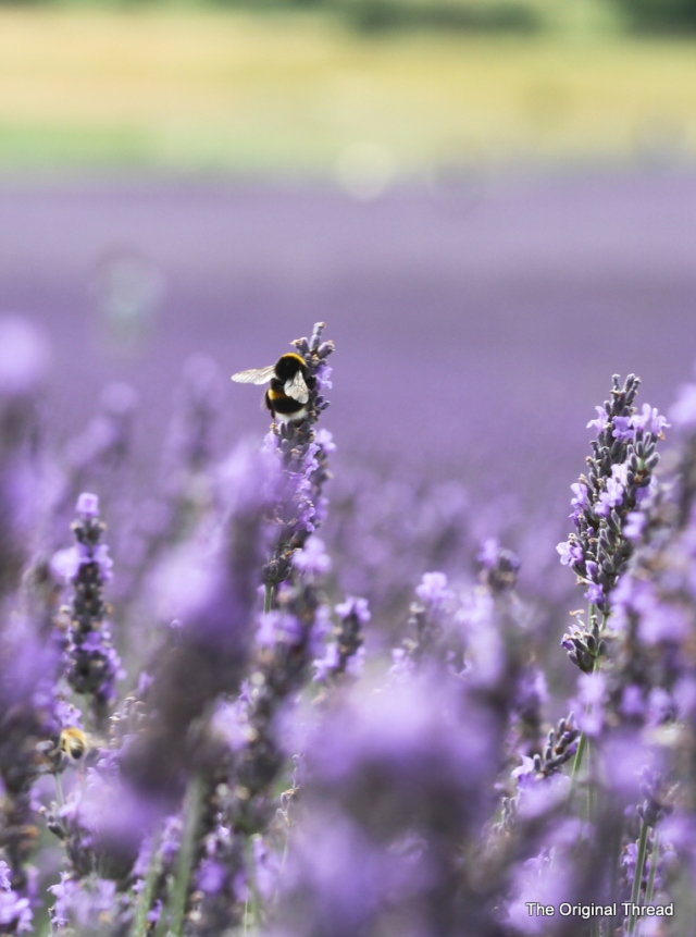 Lavender3 (1 of 1)
