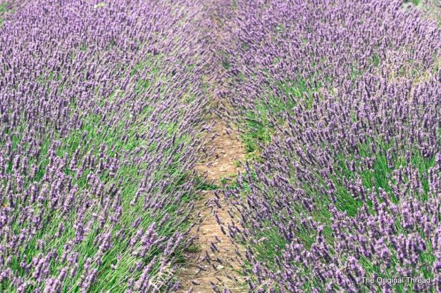 Lavender5 (1 of 1)