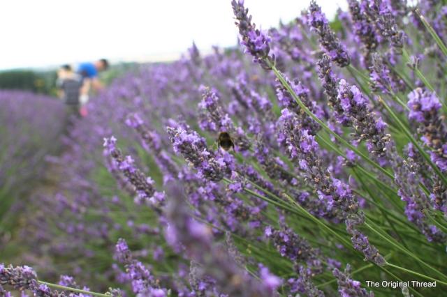 lavender9 (1 of 1)