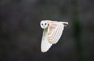 Barn Owl Tyto alba North Norfolk winter