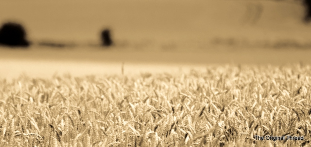 wheat2 (1 of 1)