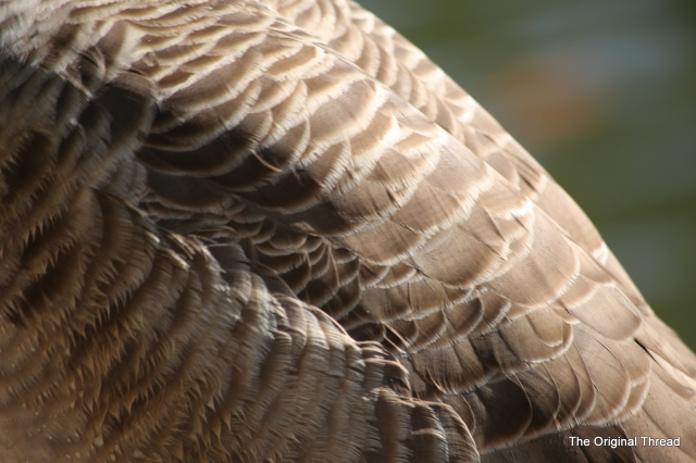 goose feathers3