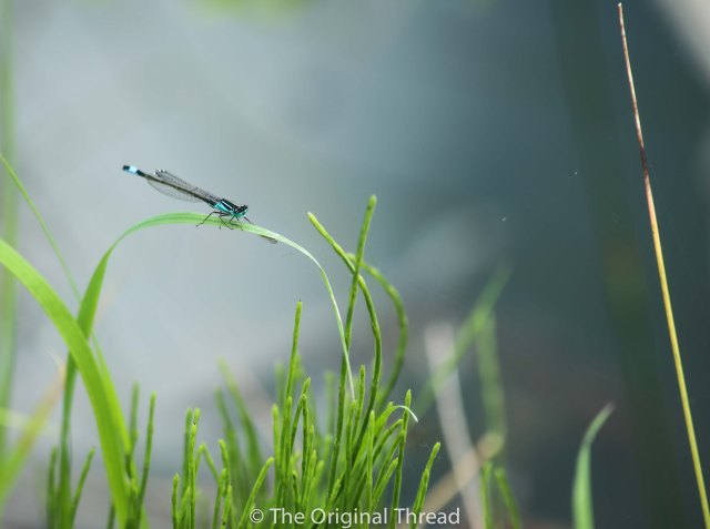 Tingrith Lakes dragonfly