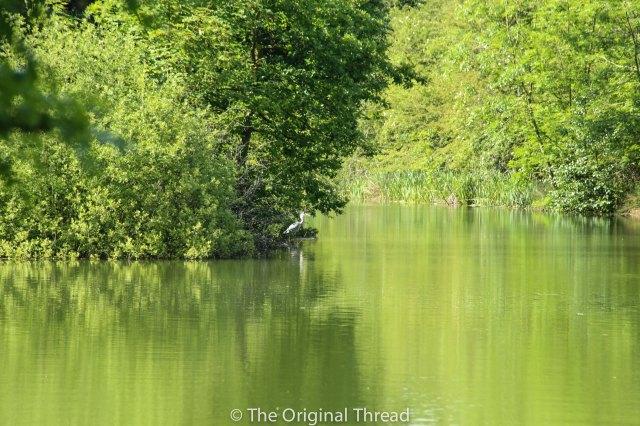 Tingrith Lakes Heron