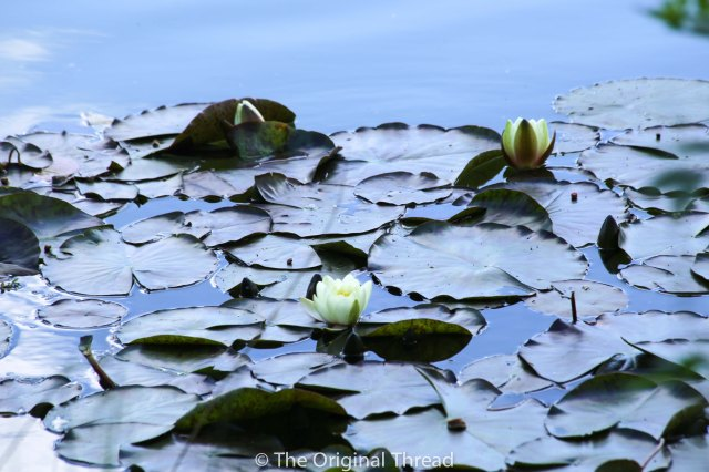 Tingrith Lakes Lilypads2